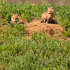 Red Fox Puppies