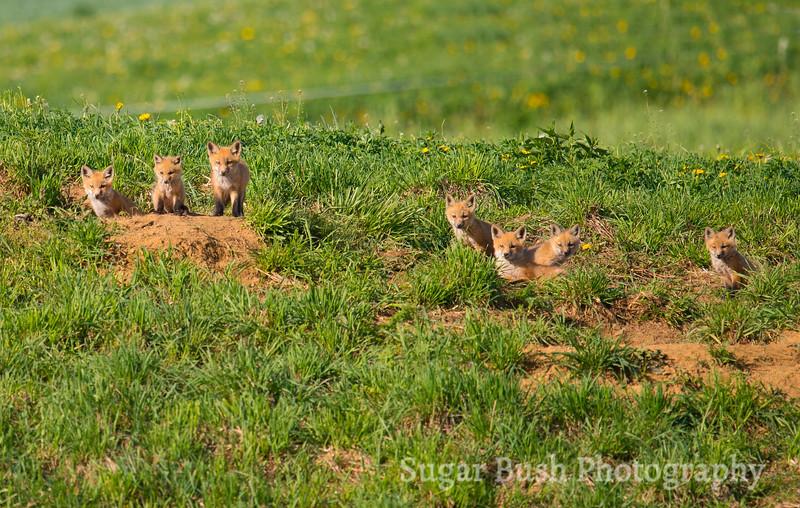 One Little, Two Little, Seven Little Foxes