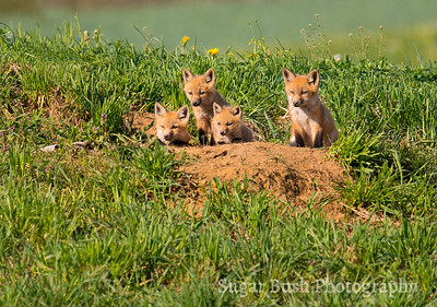 Four Little Foxes, Keeping Watch