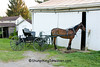 Amish Horse and Buckboard, Holmes County, Ohio