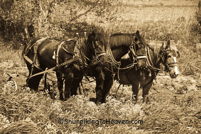 Amish Team of Horses Waiting to Plow, Vernon County, Wisconsin