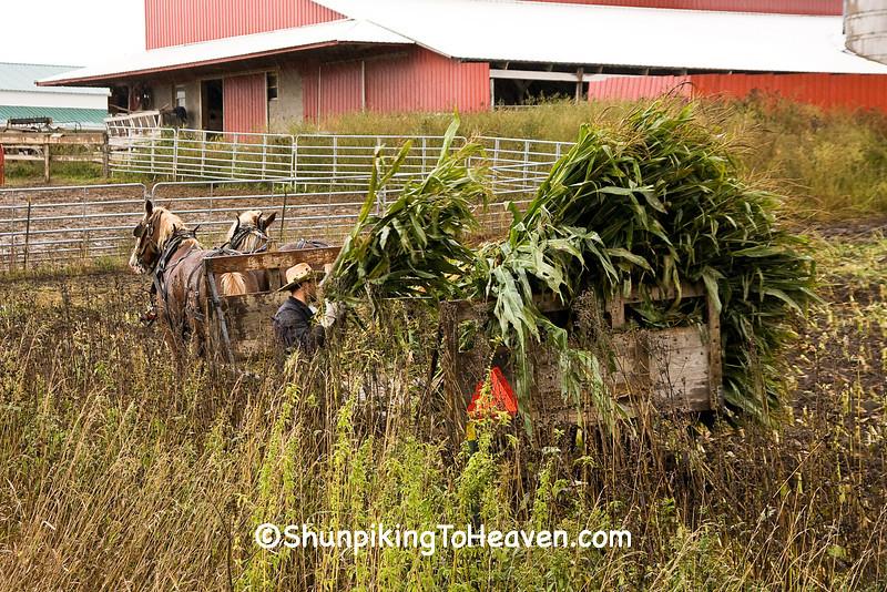 Amish Man Loading Corn onto Horse-Drawn Wagon, Winona County, Minnesota