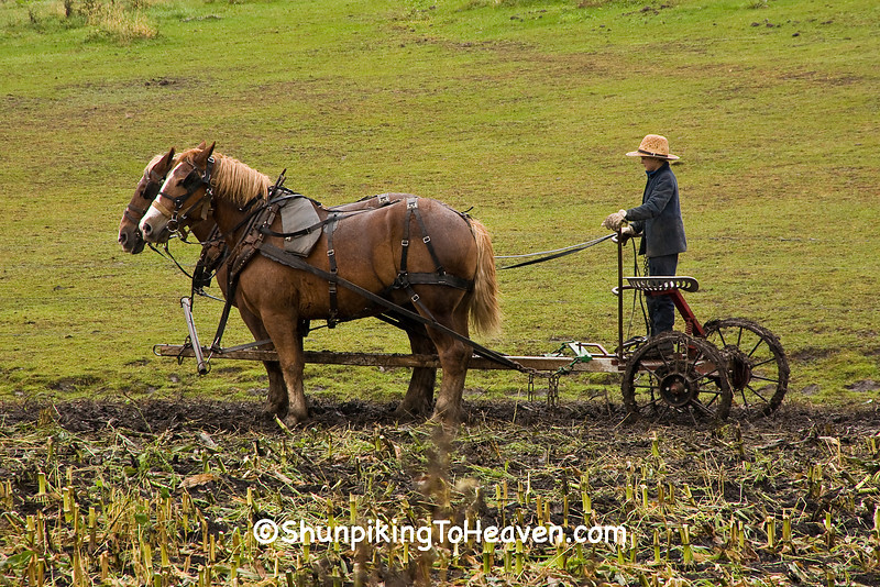 Amish Corn Harvest, Winona County, Minnesota