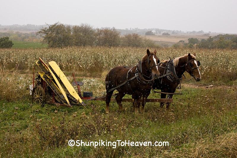 Amish Corn Harvest with Antique Corn Binder, Monroe County, Wisconsin