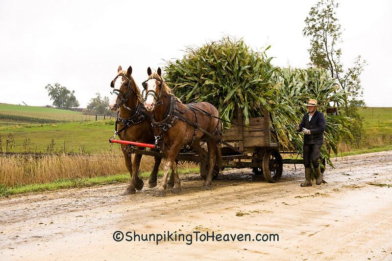 Amish Corn Harvest with Team of Belgians, Winona County, Minnesota