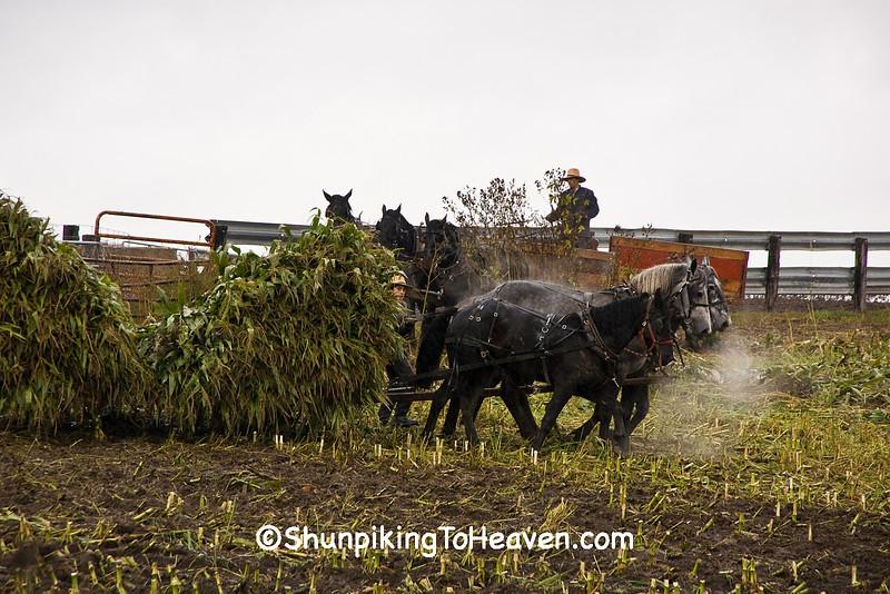 Amish Corn Harvest, Winona County, Minnesota