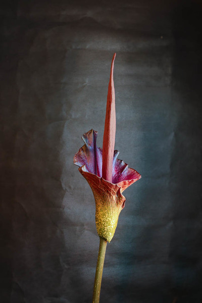 Blooming Amorphophallus konjac (corpse flower)
