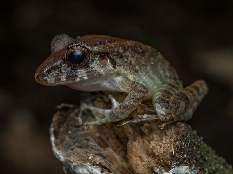 Frog of undetermined species, Costa Rica.
