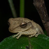 Unidentified tree frog. Costa Rica.