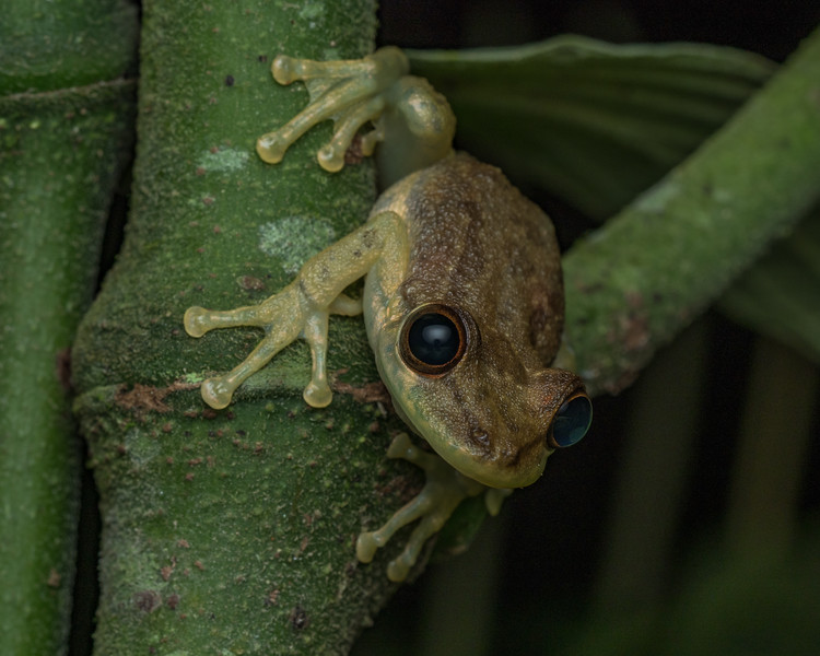 Juvenile tree frog, species undetermined, Costa Rica.