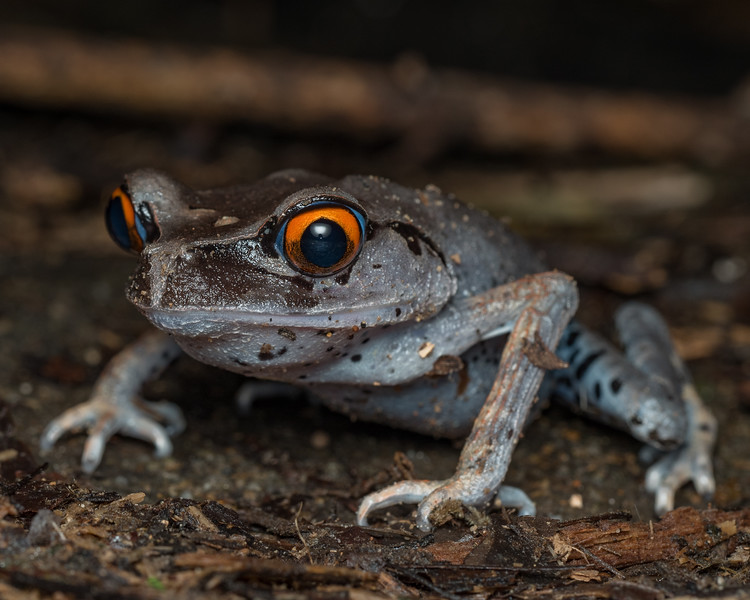 Spotted litter frog, Malaysia.