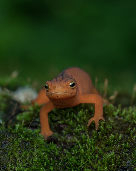 Eft form of Eastern newt