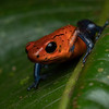 Strawberry poison-dart frog, Costa Rica.
