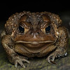 American toad.