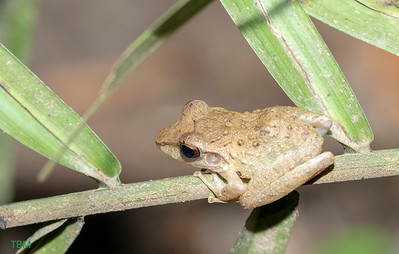 Brown tree frog.