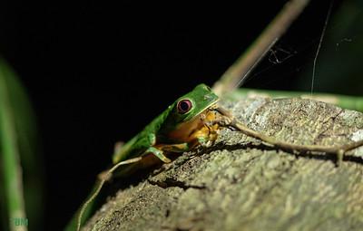 Red-eyed treefrog.