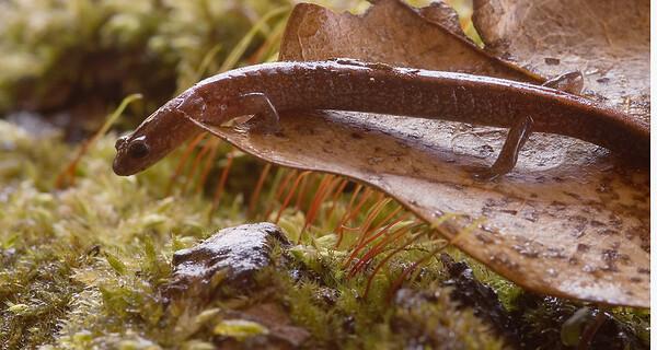 Redback Salamander, Oak Openings Preserve, Lucas County