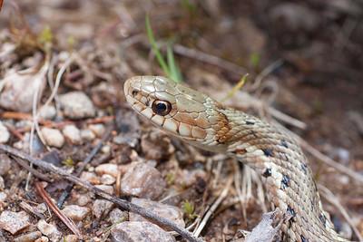 Eastern garter snake closeup