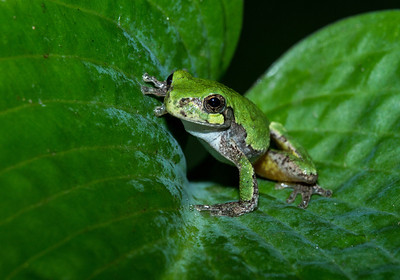 Gray Tree Frog on Green