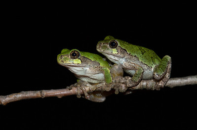 Pair Of Gray Treefrogs
