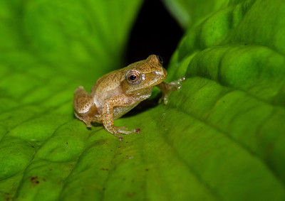 Spring Peeper on Green