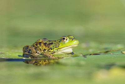 Green frog (also known as Bronze frog) Maritimes Canada