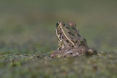 I waded into a mucky swamp to get these eye level photos of this very small Rio Grande Leopard Frog (Rana berlandieri) [April; Sick Dog Ranch near Alice, Texas]