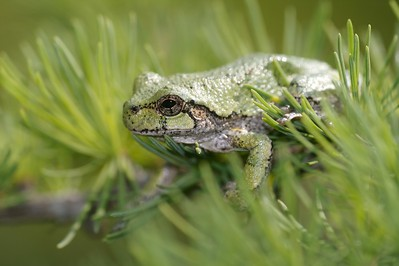 Spongy pads on the toes of Eastern Gray Treefrogs enable them to climb vertical surfaces. I had one regualar visitor that fed on moths attracted to my garage lights at night [June; Itasca County, Minnesota]