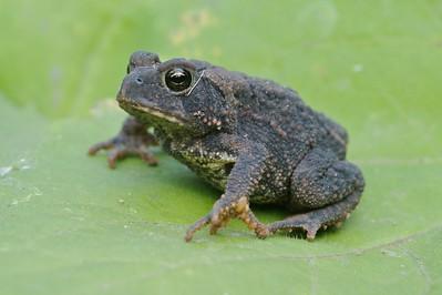 A very dark American Toad (Bufo americanus) [September; Skogstjarna, Carlton County, Minnesota]