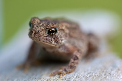 Amphibians-frogs, toads
