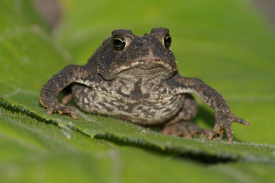 A very dark American Toad [September; Skogstjarna, Carlton County, Minnesota]