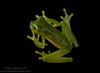 Central America's smallest glassfrog, the Dwarf or Spined glassfrog (<i>Teratohyla spinosa</i>) Rara Avis Rainforest Reserve, Costa Rica
