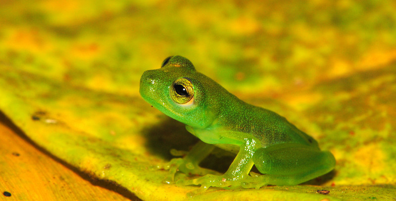 Recent metamorph of the Spined (also called Dwarf) Glassfrog, <i>Teratohyla spinosa</i>