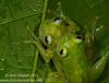 Reticulated glassfrogs (<i>Hyalinobatrachium valerioi</i>) engaged in amplexus while hanging four meters above a river in the southwest of Costa Rica.