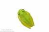 <i>Hyalinobatrachium colymbiphyllum</i> El Cope, Panama May 2013