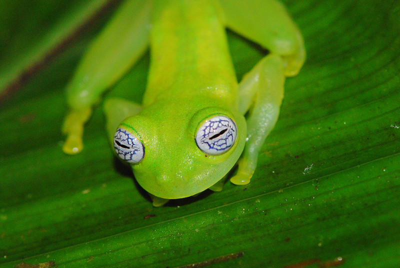 Ghost Glassfrog, <i>Sachatamia ilex</i>