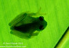 Fleischmann's Glassfrog (<I>Hyalinobatrachium fleischmanni</i>) -what a name!- showing what is means to be a transparent glassfrog. El Valle, Panama