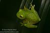 Fleischmann's Glassfrog (<i>Hyalinobatrachium fleischmanni</i>)