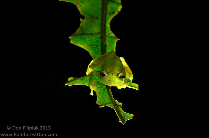 This little glassfrog (<i>Hyalinobatrachium colymbiphyllum</i>) was encountered at both sites during the most recent Panama expedition. Once the call is learned, their presence can be reliably detected without needing to have a visual of the animal. Though, finding their hiding spots on the undersides of leaves is half of the fun!  El Cope, Panama May 2013