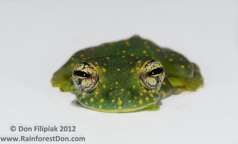 <i>Sachatamia albomaculata</i> Tropenstation La Gamba, Costa Rica