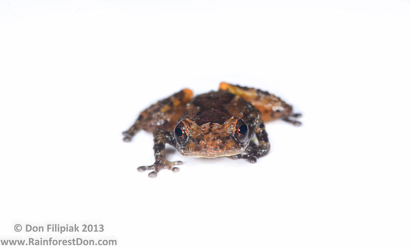 This tink frog (<i>Diasporus quidditus</i>) was found on a herpetological expedition into the Darien Province of eastern Panama. It's nighttime coloration was a greenish-yellow. Cerro Chucanti, Darien, Panama May 2013