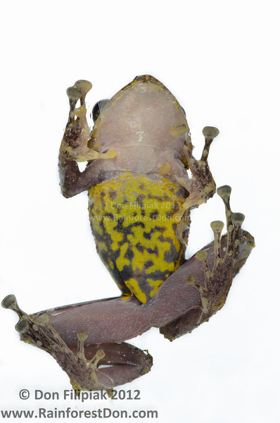 This undescribed species of <i>Pristimantis</i> displays a vivid and unique ventral pattern that I've not seen on any similar species.