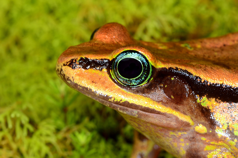 "Critically Endangered Green-eyed Frog (<i>Lithobates vibicarius</i>) from ~2000m elevation. Once considered a common highland species of Costa Rica and Panama, in 2008 this frog was placed on the IUCN ""Critically Endangered"" list."