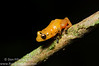 This is a recently described species of tink frog from western Panama. The Yellow Dyer Tink Frog (<i>Diasporus citrinobapheus</i>) is named because when handled, the golden yellow coloration comes off and stains your hands. While it is common for species of <i>Diasporus</i> to have white lines demarcating their disc covers, this species displays a gorgeous pattern of white all over the fingers and toes.