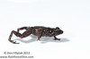 """""""Walk it off"""" Yet another small undescribed species of tink frog from the mountains of Panama. This secretive little male is closely related to <i>Diasporus diastema</i>."""