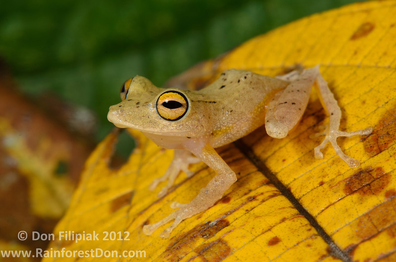 <i>Pristimantis educatoris</i> was just described in 2010. This example is from Parque Nacional Omar Torrijos, El Copé, Panama