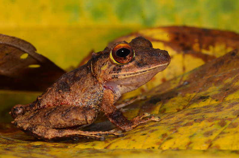 "Clay-colored Rainfrog (<i>Pristimantis cerasinus</i>) have what I like to call ""sunset"" eyes. Rara Avis Rainforest Reserve, Costa Rica"