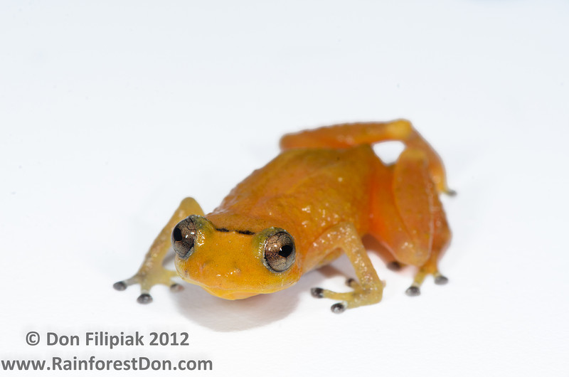 <i>Diasporus citrinobapheus</i>- a species of tink frog that was just described in May, 2012 El Valle, Panama June, 2012