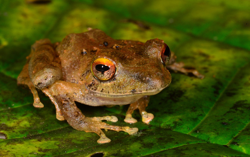Clay-colored Rainfrog (<i>Pristimantis cerasinus</i>), again with those sunset eyes