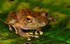 Clay-colored Rainfrog (<i>Pristimantis cerasinus</i>), again with those sunset eyes